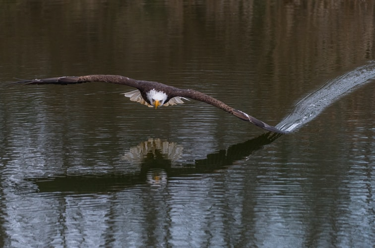 An eagle flying over a lake with the tip of the wing touching the water