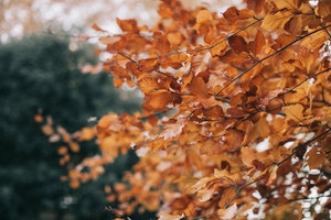 Brown leaves of a tree in autumn